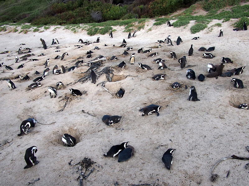 P5197297-nesting-penguins.JPG