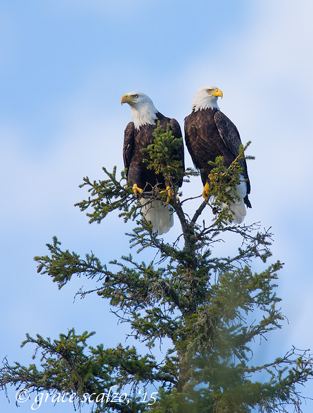 Bald Eagle Pair in Pine