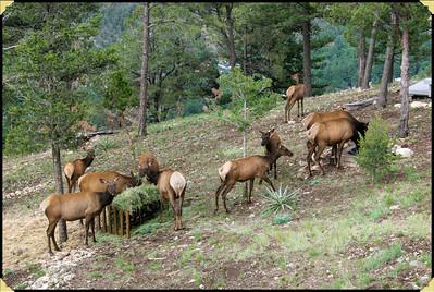 Ruidoso Elk