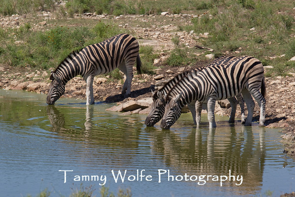 Zebra, Damara