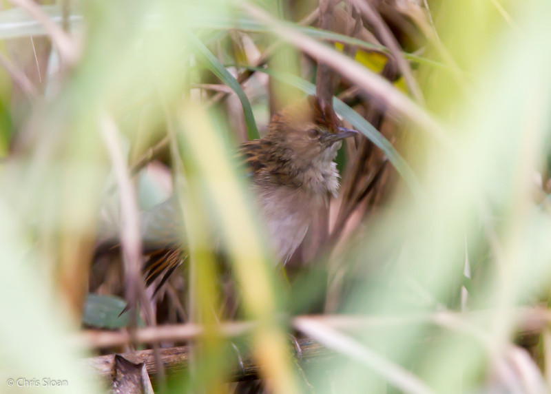 Tawny (Papuan) Grassbird at Upper Tari Valley, Southern Highlands Province, Papua New Guinea (10-04-2013) 1583.jpg