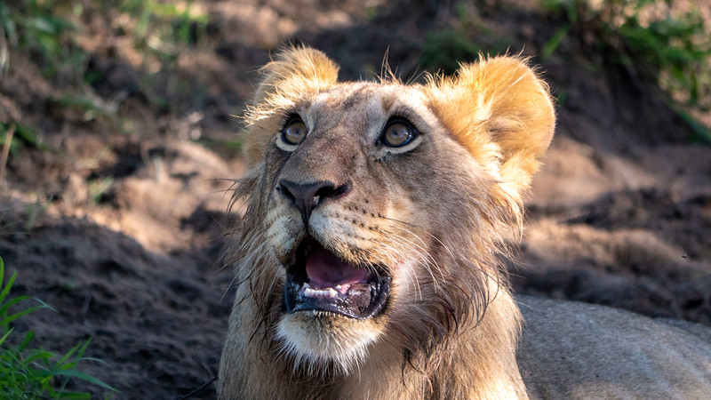 Tanzania-Serengeti-National-Park-Safari-Lion-05.jpg