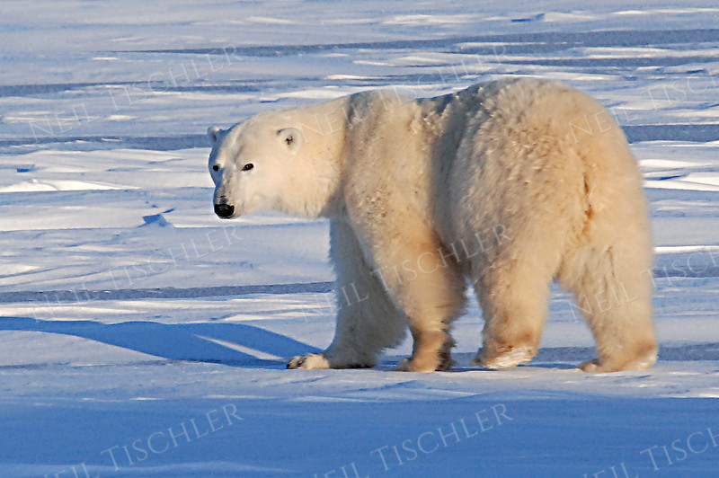 #542  A male polar bear ambling along