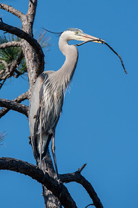 Feb. 23, 2020 - Great Blue Heron Nests
