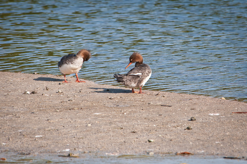 Red-breasted Mergansers (female)