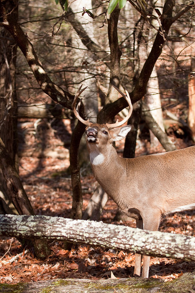 white-tailed buck following doe.