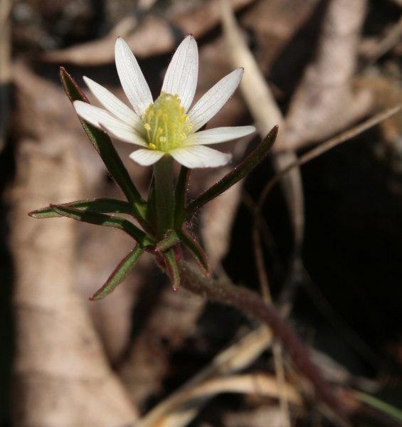 Anemone marlandica.jpg