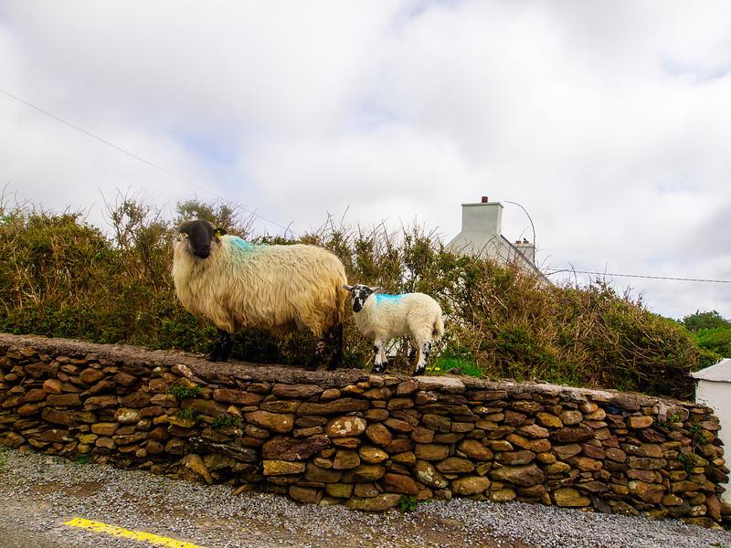 Sheep on the Dingle Peninsula