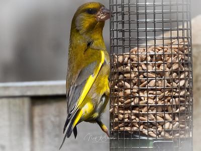 Feeding finch