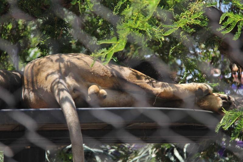 20170807-070 - San Diego Zoo - Lions.JPG