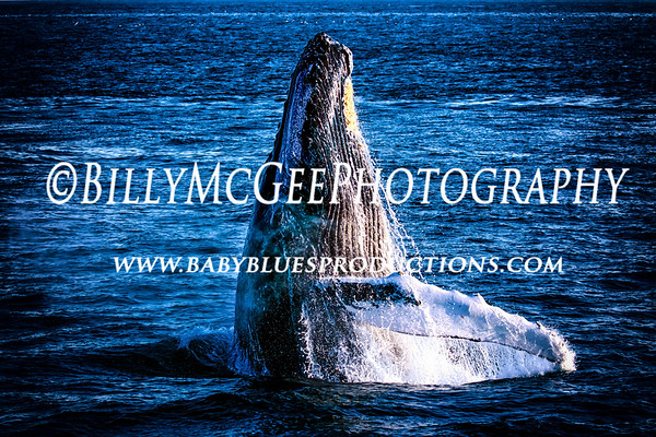 Northern Humpback Whales - 01 Sep 2015