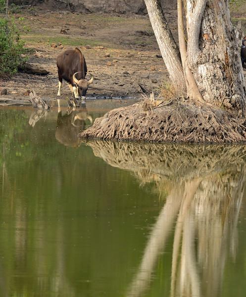 Gaur-drinking-water.jpg