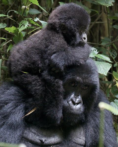 Gorillas  8400 (1).jpg