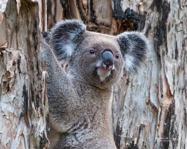 Koala (Phascularctos cinereus) VU