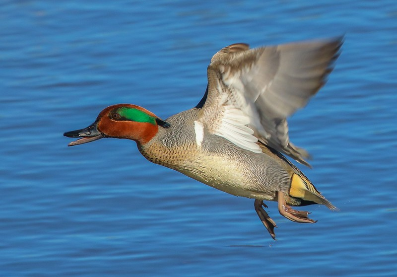 A Green-winged Teal takes off close to me.