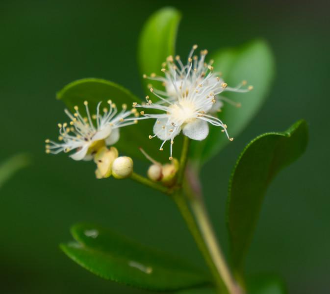 simpson's stopper blossom
