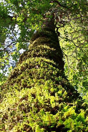 Big Basin Redwood National Park, Santa Cruz
