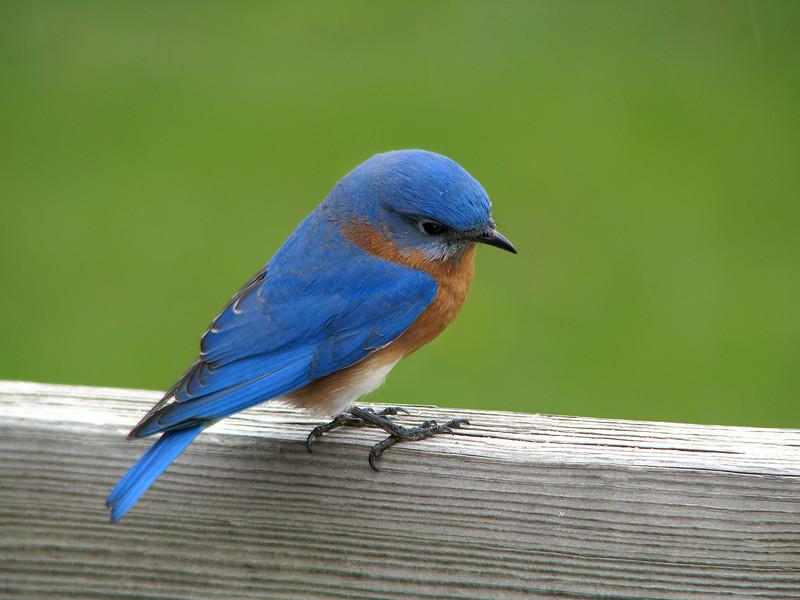 Bluebird_MR.B_1048.jpg