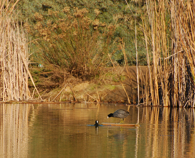 Coots - 11/25/2011 - Poway Pond