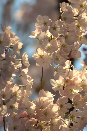 Cherry Blossoms 05