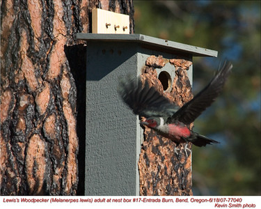 Lewis'WoodpeckerA77040.jpg