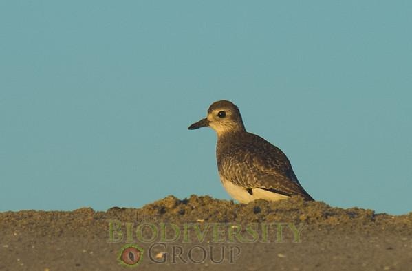 Shore Birds (Charidriformes)