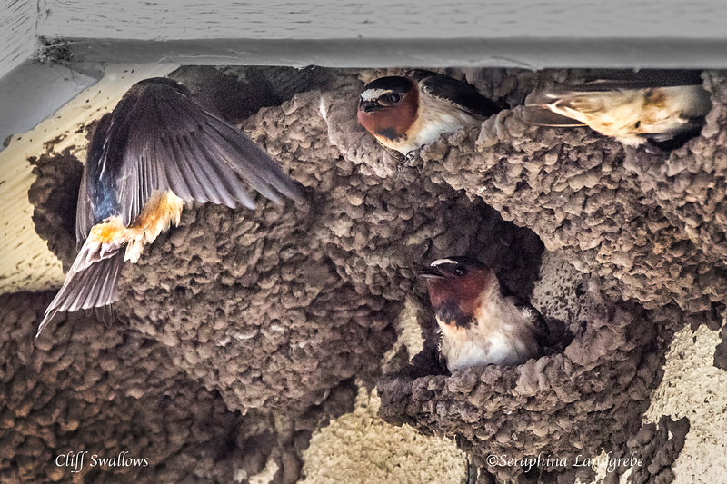 _DSC8043Cliff Swallows.jpg