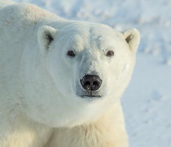 Polar bears & Hudson Bay