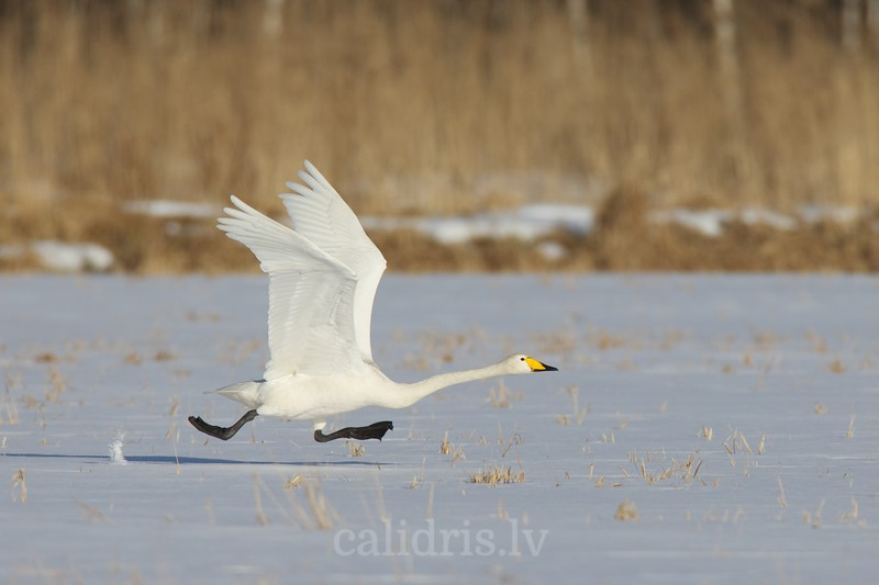 Whooper Swan takes off from snow covered field