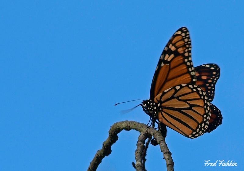 sayen butterfly.jpg