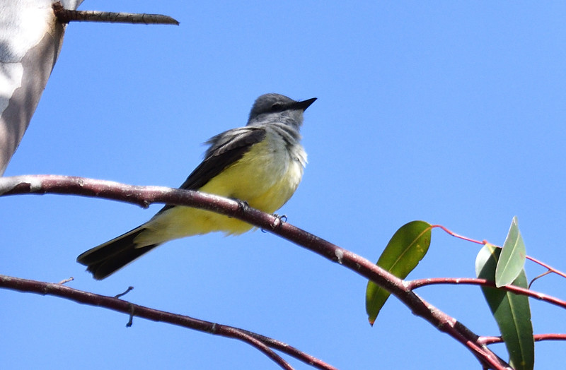 Western Kingbird - 5/5/2019 - Trail on the way to Poway Pond (bottom of east hill)