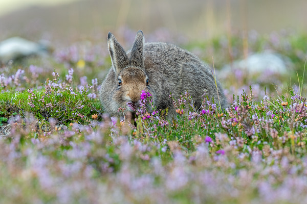 Nature: Mountain Hares - Summer