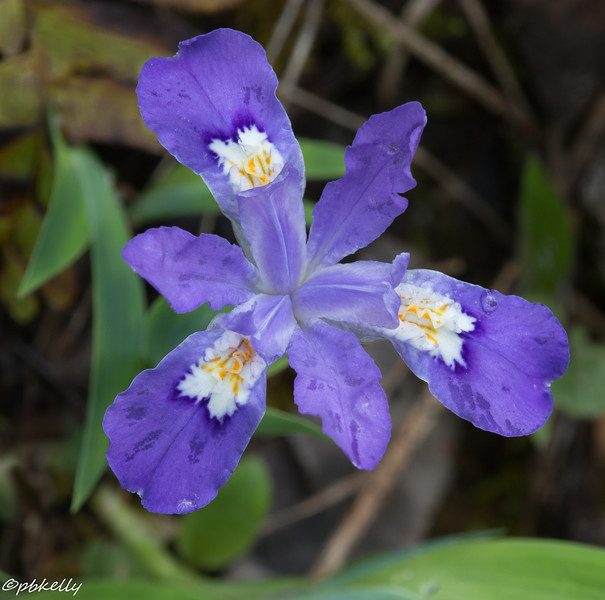 Dwarf Crested Iris are just wonderful.