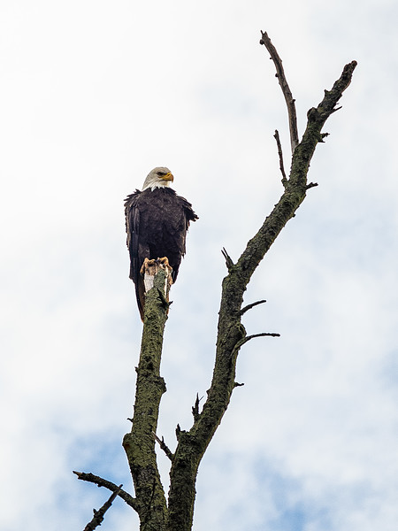 scowling bald eagle Wolfville.jpg
