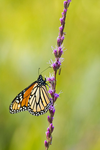 Monarch Butterfly and Monarch Caterpillar - St. Marks NWR, Florida