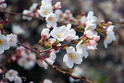 Cherry Blossoms 2017 / Washington, DC