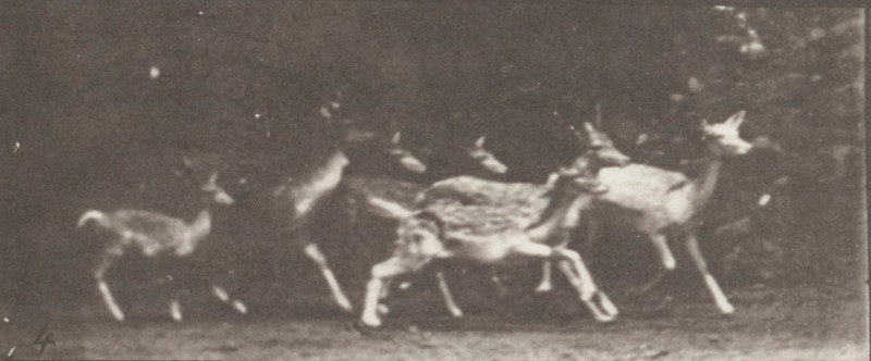 Fallow deer, buck and group of does, various movements