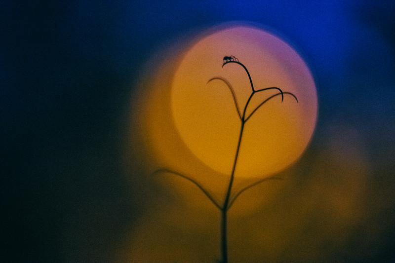 Harvest Moon Spider