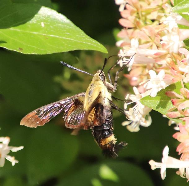 hummingbird moth 353.jpg