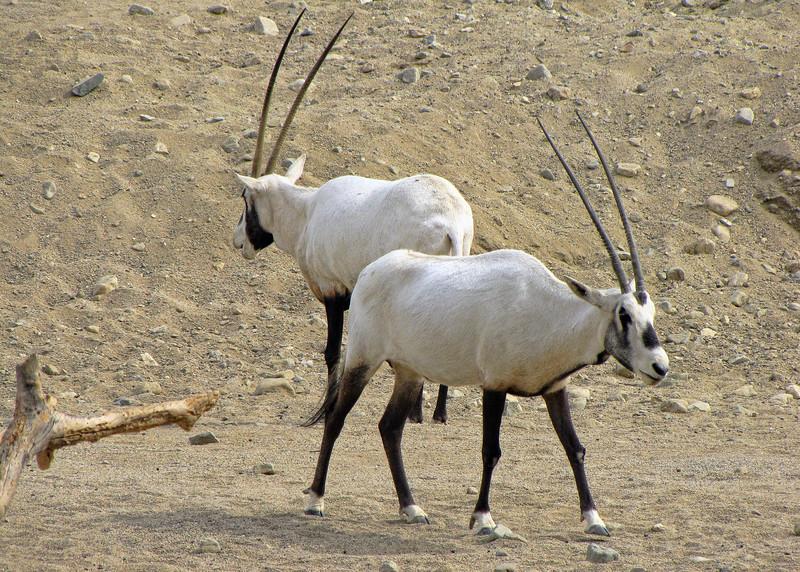 ARABIAN ORYX - YOTVATA HAI BAR NATURE RESERVE, ISRAEL