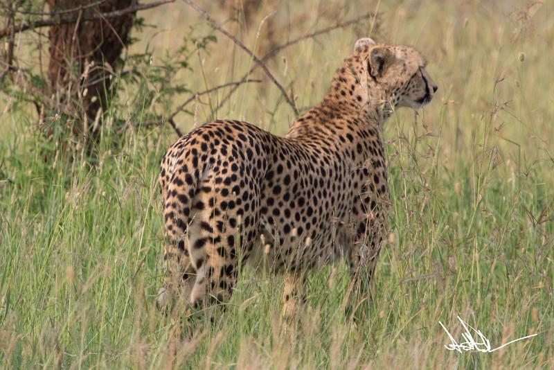CheetahS-7.jpg
