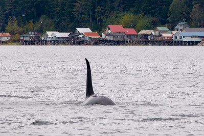 Orca (Killer Whale)  with Tenakee Cabins  in the Background October 2014, Cynthia Meyer, Tenakee Springs, Alaska P1410499