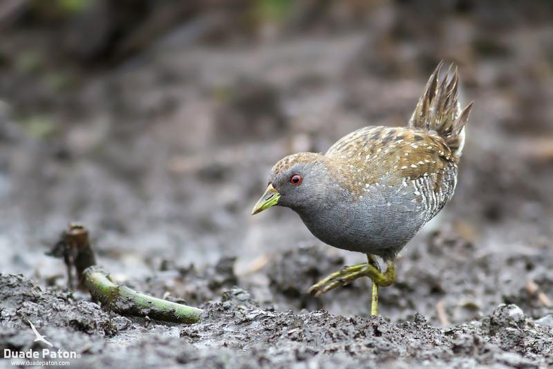 49-Australian-Spotted-Crake-Worrgiee,NSW-281112.jpg