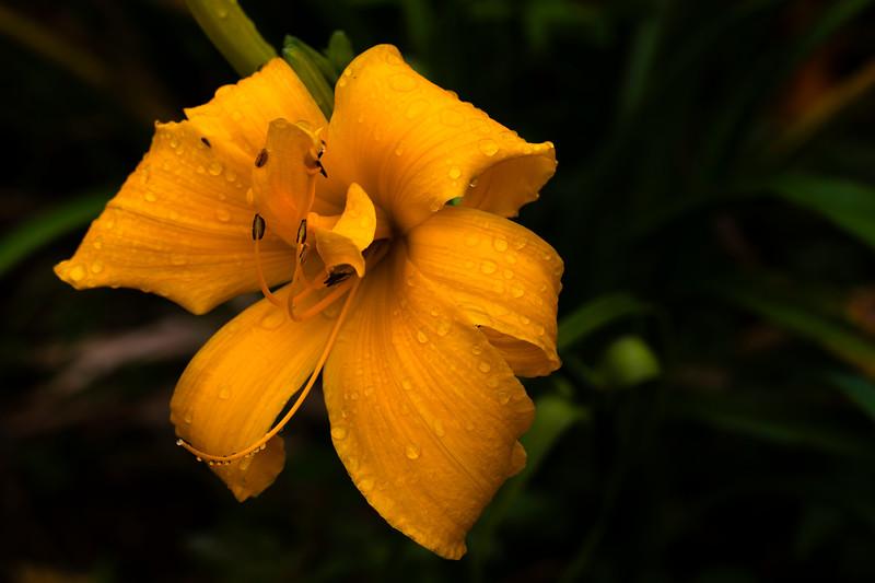 Rainy Day_Yellow Daylily_664A9761.jpg