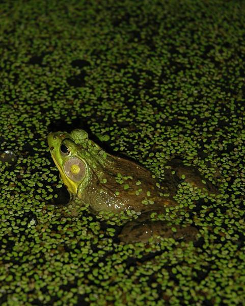 SNC Frog 1990 1600x2000.jpg