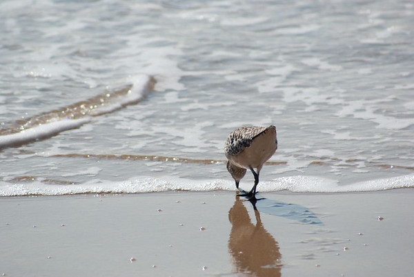 Shorebird on California Coast