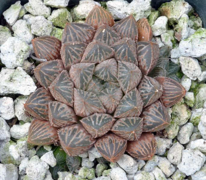 Haworthia cooperi var obtusa x emelyae