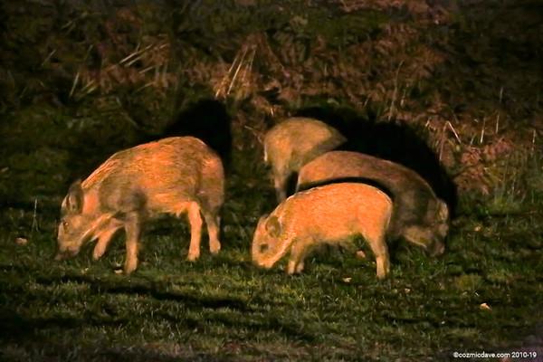 Wild Boar - Set 7