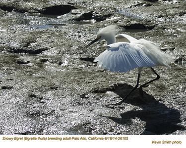Snowy Egret A26105.jpg