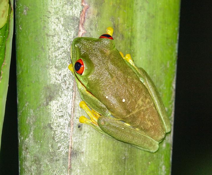 Red-eyed Tree Frog, The Lodge at Pico Bonito